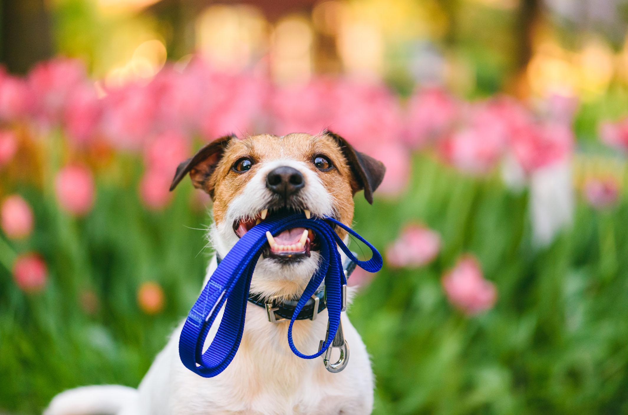 Dog walk in Potomac